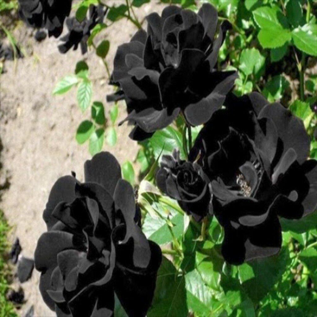 Розы Хальфети